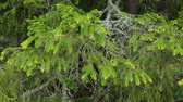 игла : Old fir tree branch in closeup Стоковые видеозаписи