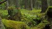 musgoso : Old mossy stumps in spring forest