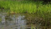 marsh : Swamp area in summer Stock Footage