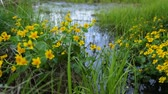 yellow flower : Swamp area in summer Stock Footage