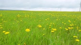 nappal : Dandelion meadow summer day view Stock mozgókép