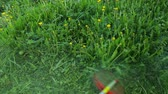 trimmer : Man is mowing on dandelion meadow