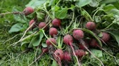 harvest : Bunch of red radish on grass