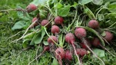 редис : Bunch of red radish on grass