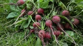 turp : Bunch of red radish on grass