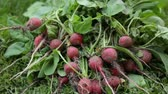 radis : Bunch of red radish on grass