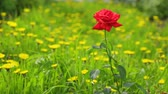 rose garden : Single red rose growing in dandelion meadow