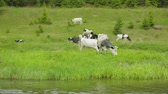 chew : Herd of cows grazing on meadow