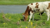 vacas : Cow with heifer grazing on meadow