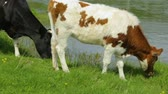 chew : Cow with heifer grazing on meadow