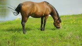 уздечка : Horse grazing on meadow near river Стоковые видеозаписи