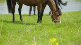 chew : Horses grazing on meadow near river