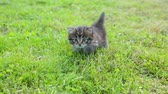 вперед : Little kitten on the grass Стоковые видеозаписи
