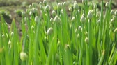 leeks : Green onion in garden