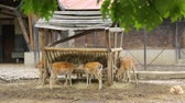 chew : Group of dappled deers in zoo Stock Footage