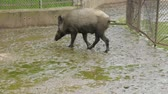 kir : Couple of wild boars in zoo