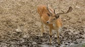 оленьи рога : Sigle dappled deer in zoo Стоковые видеозаписи