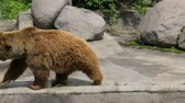 memeli : Single brown bear in zoo