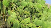 thorns : Growth of cactus in ground Stock Footage