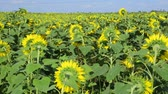 szárak : Field of sunflowers in summer day Stock mozgókép