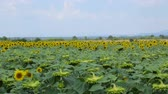 girassol : Field of sunflowers in summer day Stock Footage