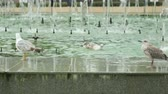 racek : Seagulls in fountain on street