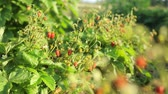 gardens : Strawberry bushes with berries