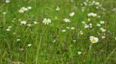 yellow flower : Wildflowers and grass growing in a meadow Stock Footage