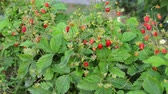 morango : Strawberry bushes with berries