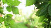 ветер : Green leaves as background