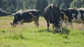 pastvisko : Cows grazing on field