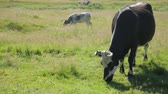 vacas : Cows grazing on field