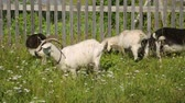 pastoreio : Goats grazing on field Stock Footage