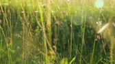 объектив : Grass on meadow at sunset