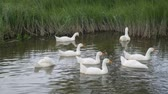 птицы : Flock of geese on a river