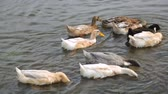 Flock of ducks on a river Stock Footage