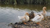 rzeka : Flock of ducks on a river Wideo