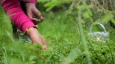 gathering : Woman gathering berries in forest Stock Footage