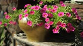 освещенный солнцем : Red flowers of calibrachoa in pot outdor in summer
