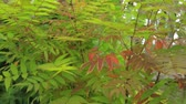 a natureza : Bush of rowan growing in garden