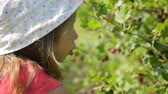 groselha : Little girl picking gooseberries in garden