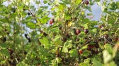 groselha : Gooseberry bush growing in garden