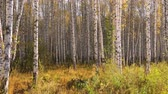 nyírfa : Birch grove in autumn
