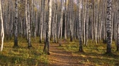 береза : Birch grove in autumn