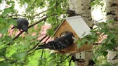 trough : Pigeons around bird feeders Birds feeding trough attached to a birch forest park Stock Footage