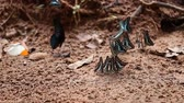 borboleta : panning shot Group of The Common Jay butterfly on the ground
