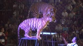tigre : CHONBURI, THAILAND, MARCH 1, 2018: bengal tiger in a cage at a circus performance tricks, Cage of the Tigers at Sriracha Tiger Zoo, Thailand