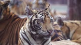 虎猫 : slow motion of bengal tiger 動画素材