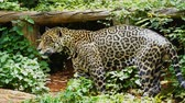 carnívoro : A jaguar resting in the forrest