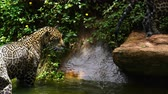 пантеры : Two jaguar playing and swimming in pond